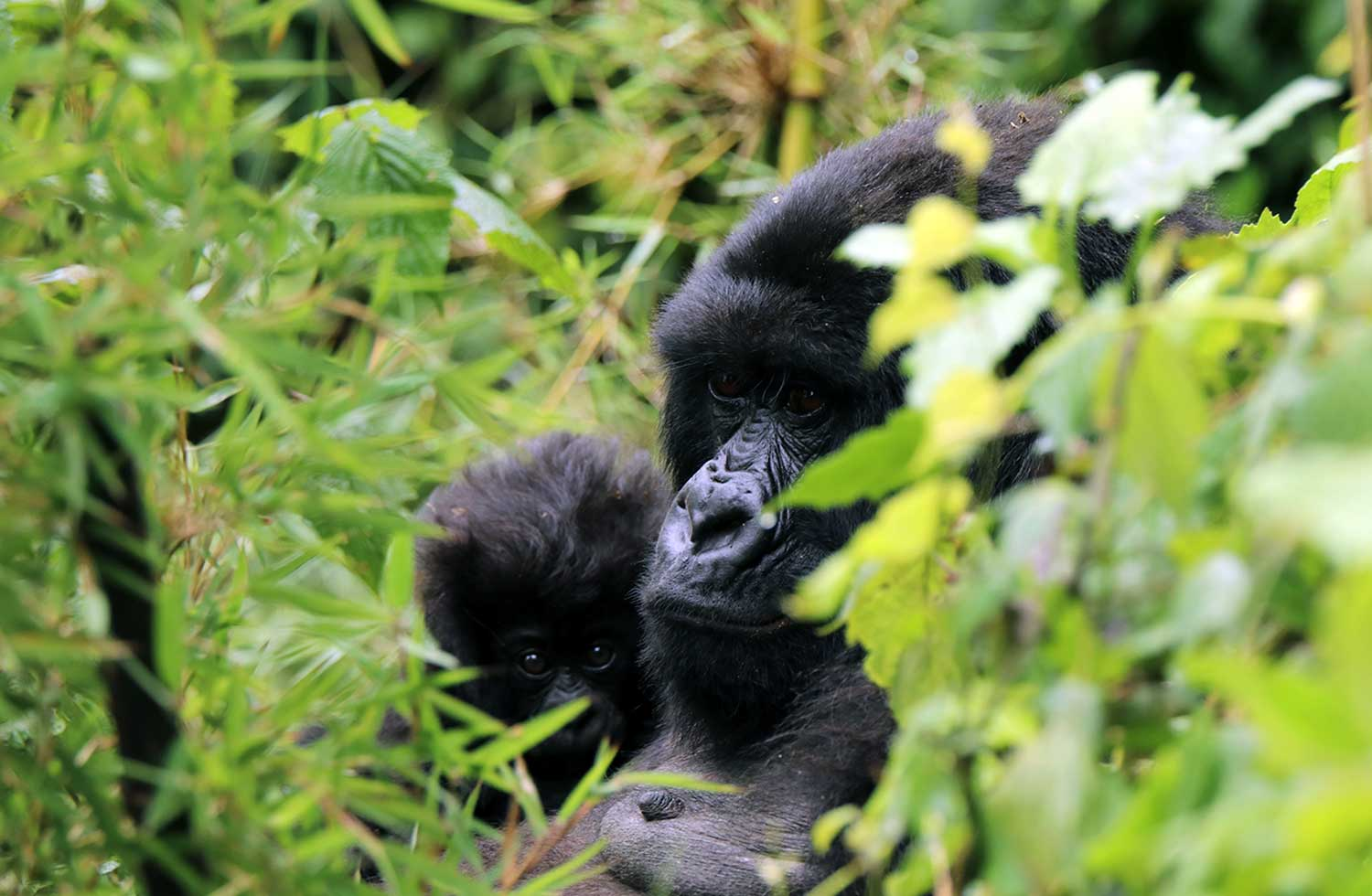 The new myclimate energy-efficient stoves project reduces wood consumption and protects the habitat of the mountain gorillas